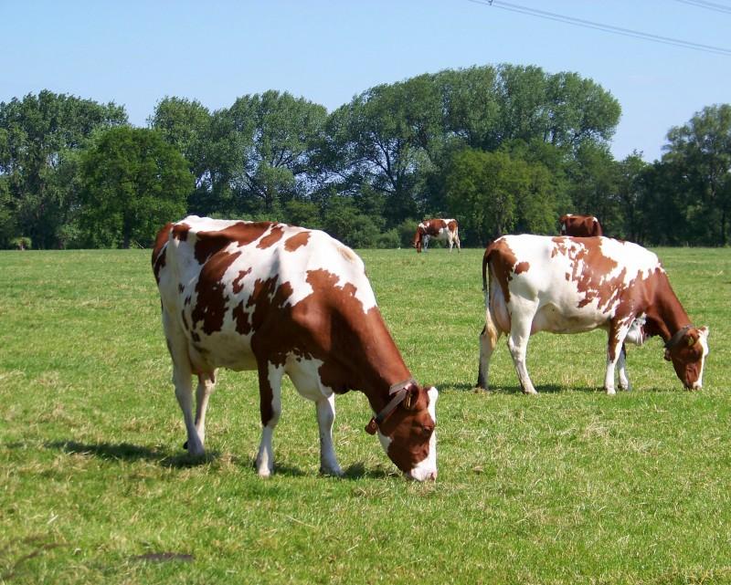 Bontgevlekte koeien in de wei